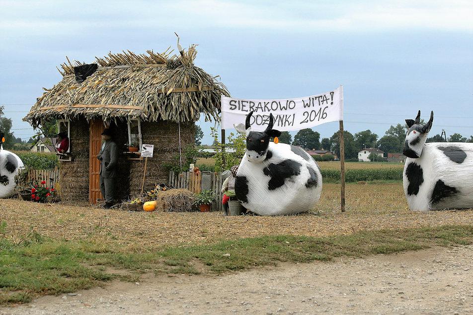 Sierakowo koło Kowalewa Pomorskiego. Dekoracja dożynkowa to cały domek, trzy krowy (w tym jedna w trakcie dojenia) i traktor. Fot. Jerzy S. Majewski
